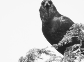 b&w crow photo